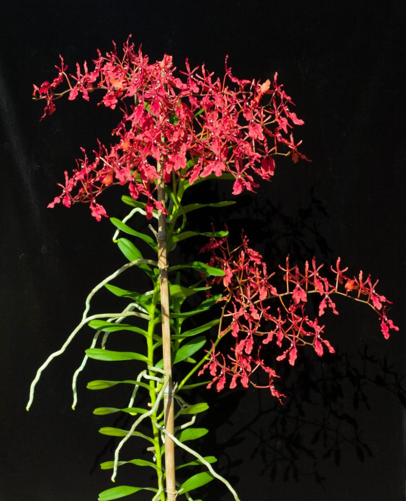 renanthera-coccinea-6