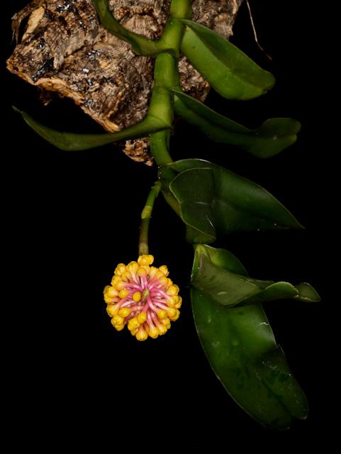 robiquetia-cerina-12