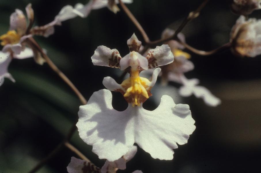 tolumnia-guttata-1