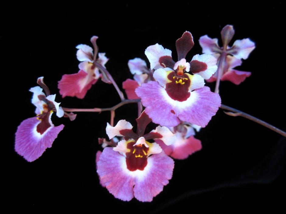 tolumnia-pink-panther-1