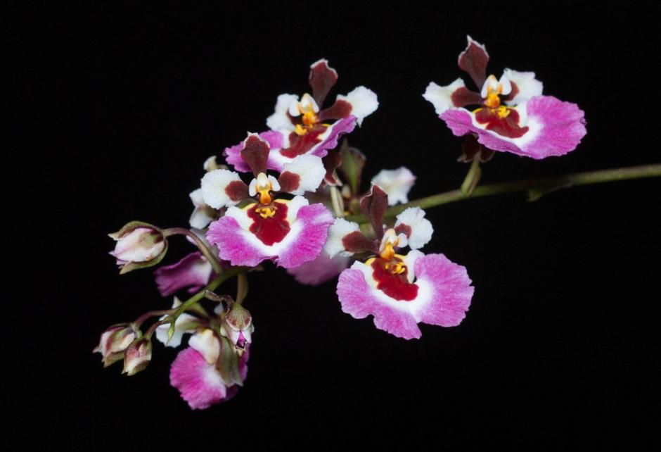 tolumnia-pink-panther-2