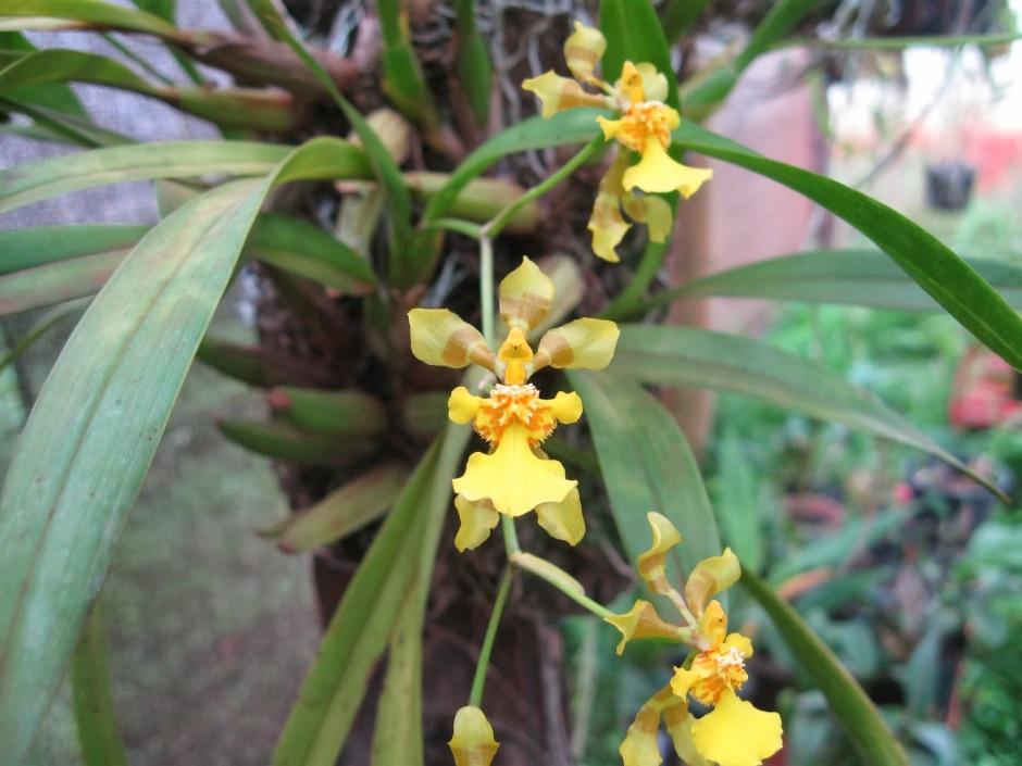 alatiglossum-longipes-2