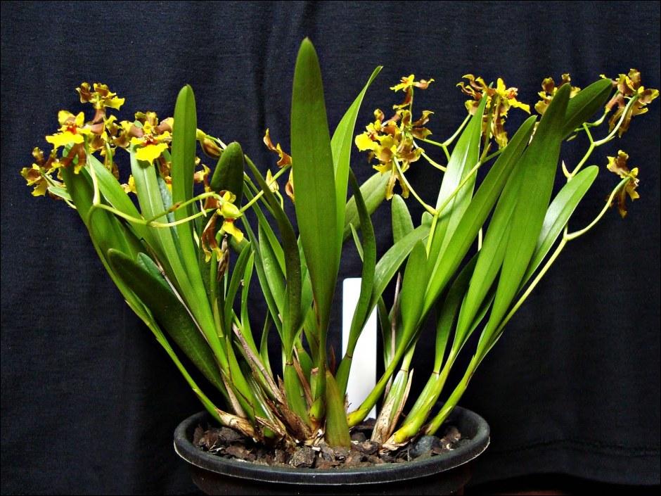 alatiglossum-longipes-3
