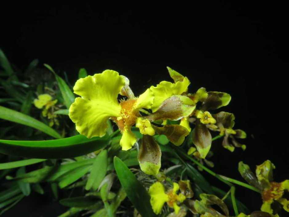 alatiglossum-longipes-4