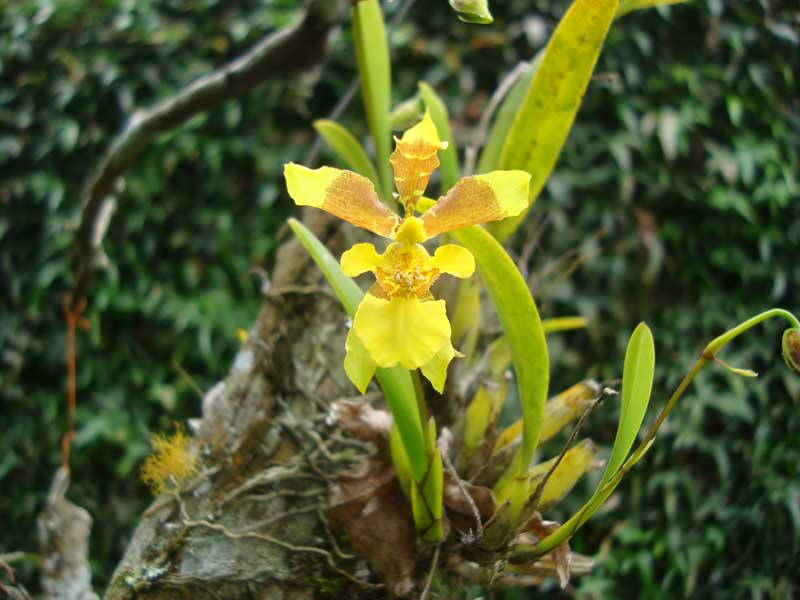 alatiglossum-longipes-5
