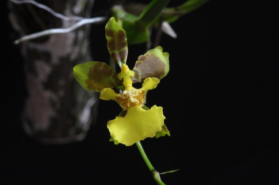 alatiglossum-longipes-7