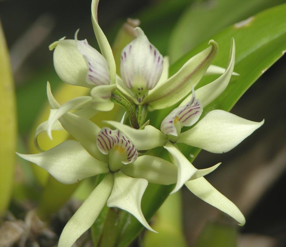 anacheilium-fragrans-2