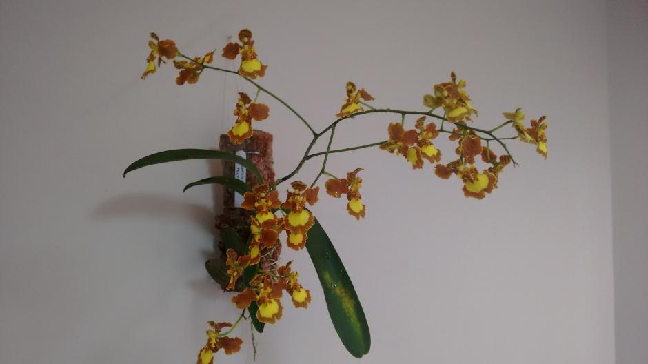 brasilidium-pectorale-1
