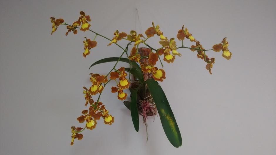 brasilidium-pectorale-2