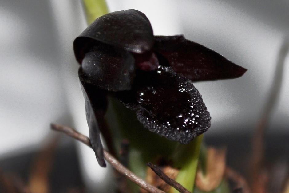 brasiliorchis-schunkeana-2