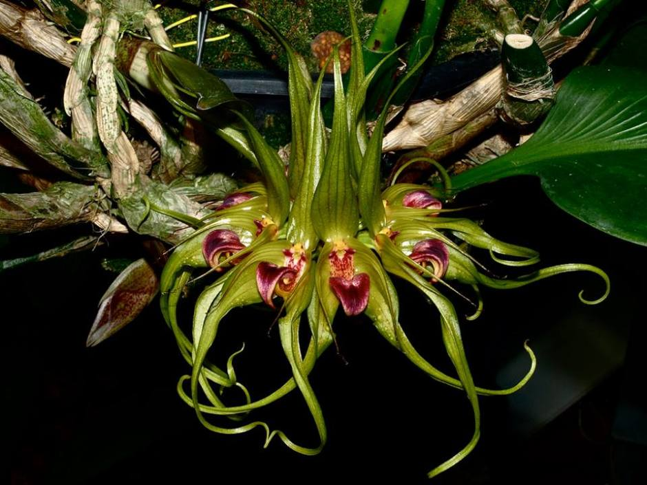 bulbophyllum-virescens-2