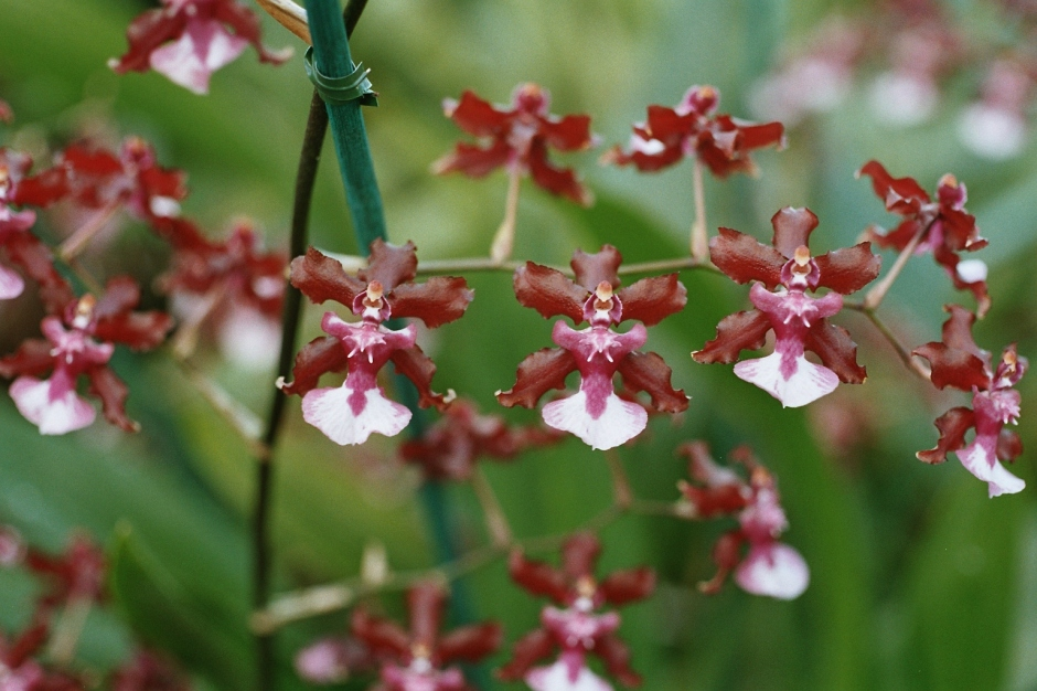 oncidium-sharry-baby-1