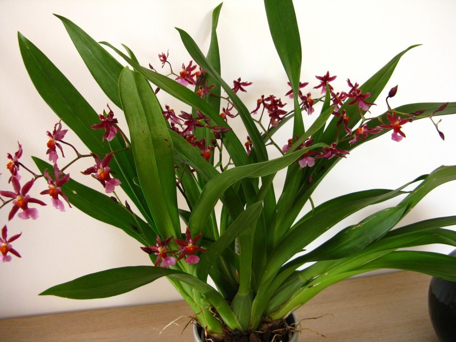 oncidium-sharry-baby-10