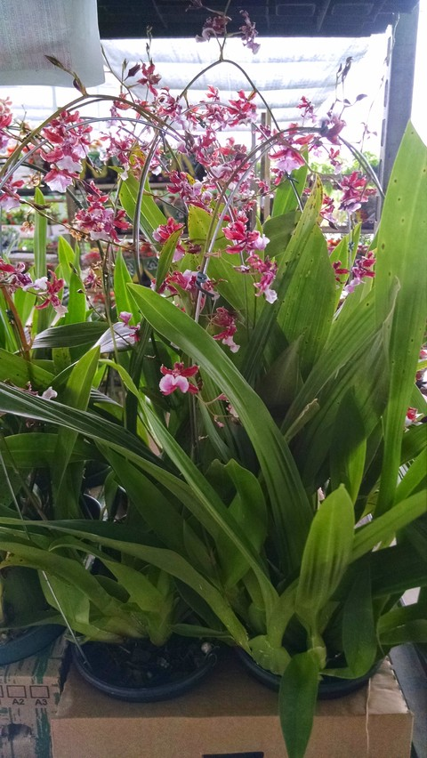 oncidium-sharry-baby-12