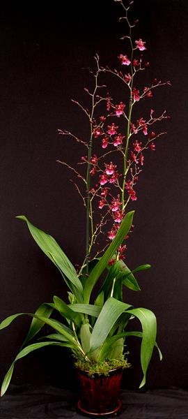 oncidium-sharry-baby-13