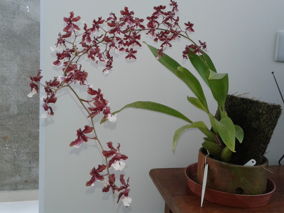 oncidium-sharry-baby-2