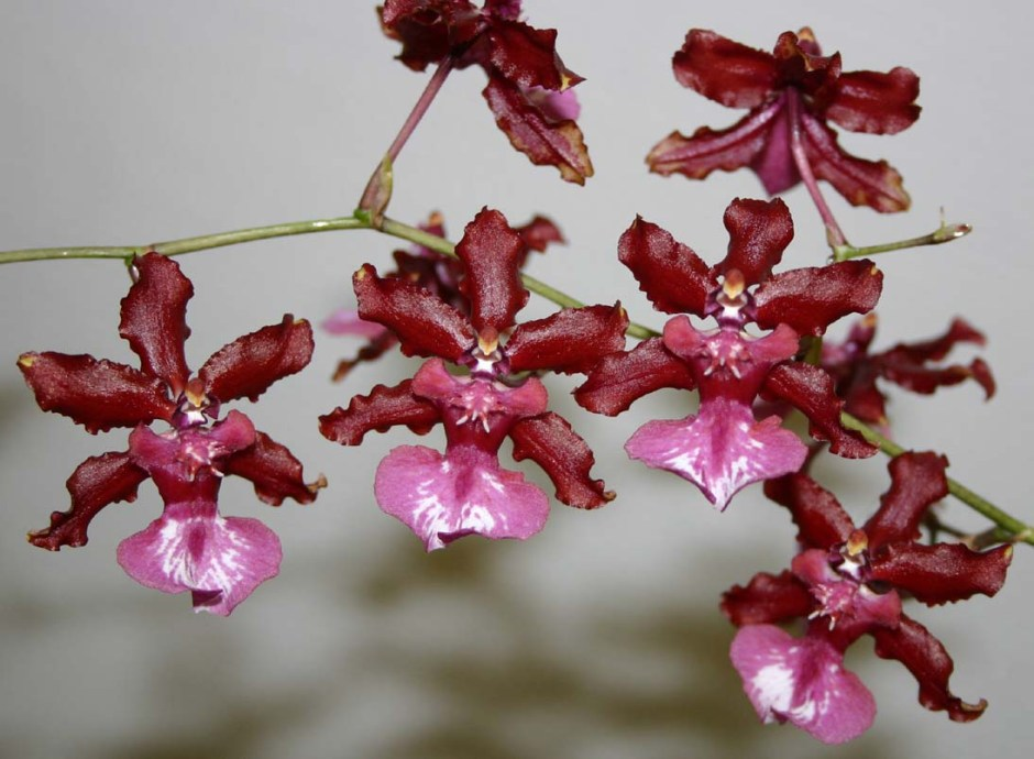 oncidium-sharry-baby-3
