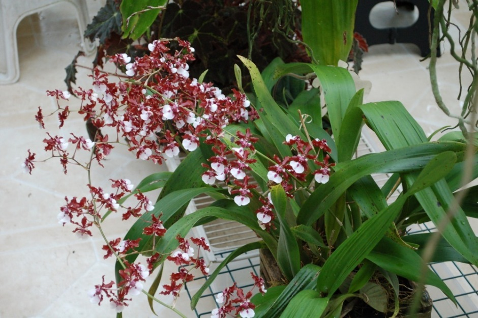 oncidium-sharry-baby-4