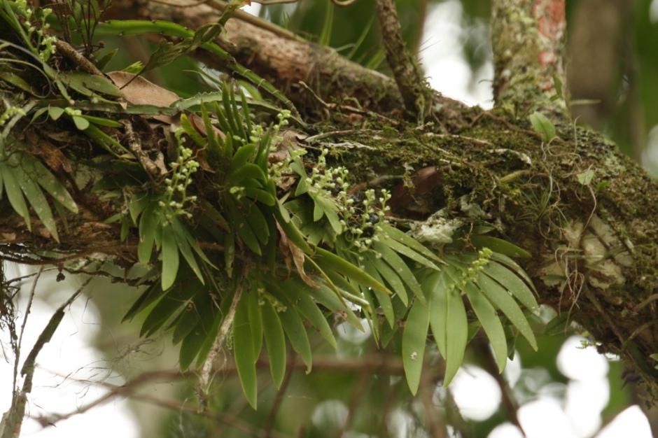 ornithocephalus-myrticola-13