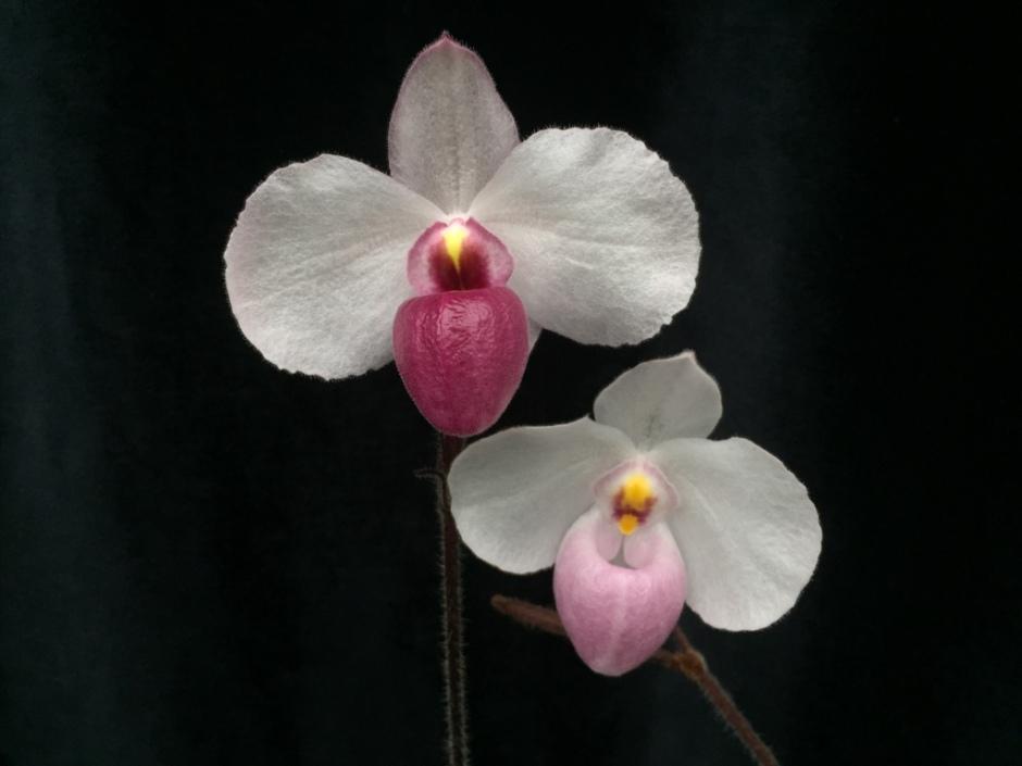 paphiopedilum-delenatii1