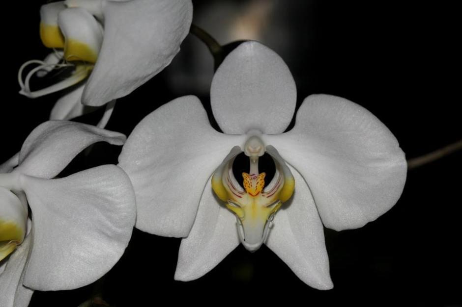phalaenopsis-amabilis-1