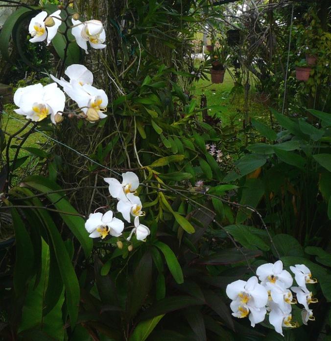 phalaenopsis-amabilis-10