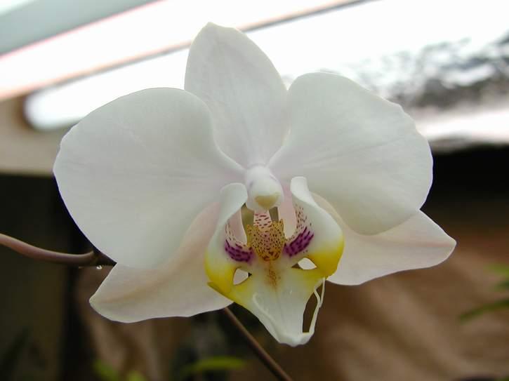 phalaenopsis-amabilis-2