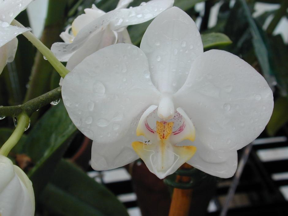 phalaenopsis-amabilis-3