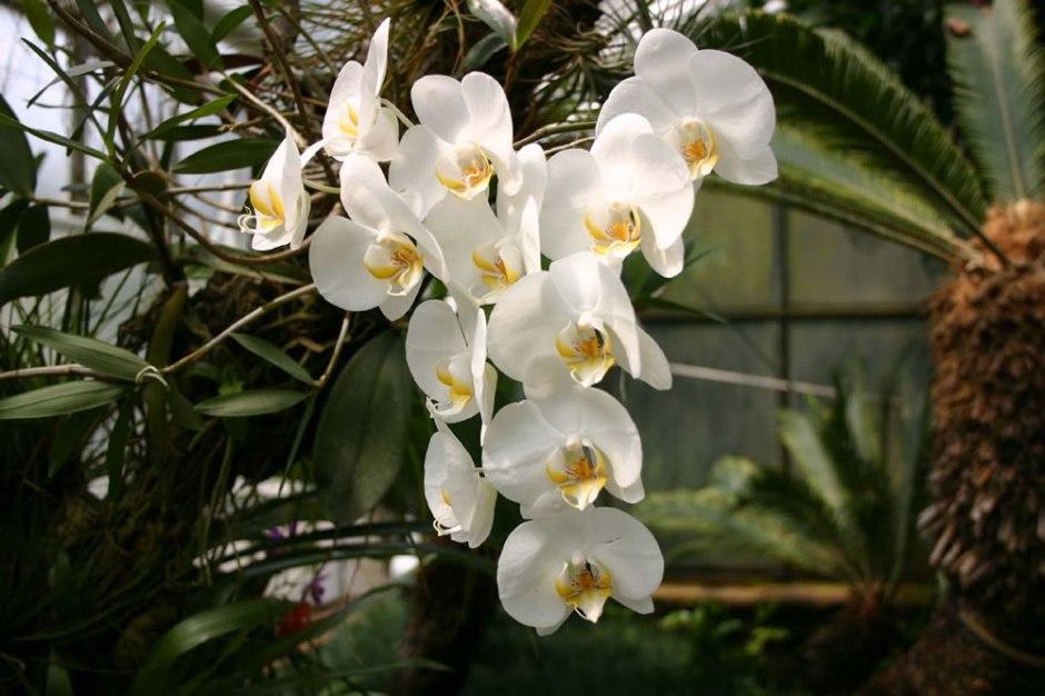 phalaenopsis-amabilis-4