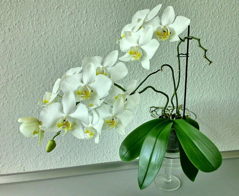 phalaenopsis-amabilis-8