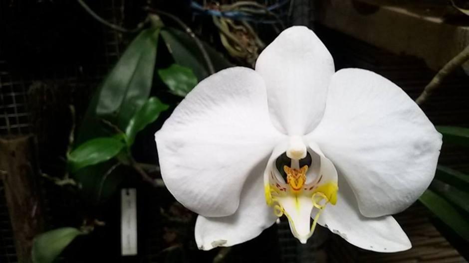 phalaenopsis-amabilis-9