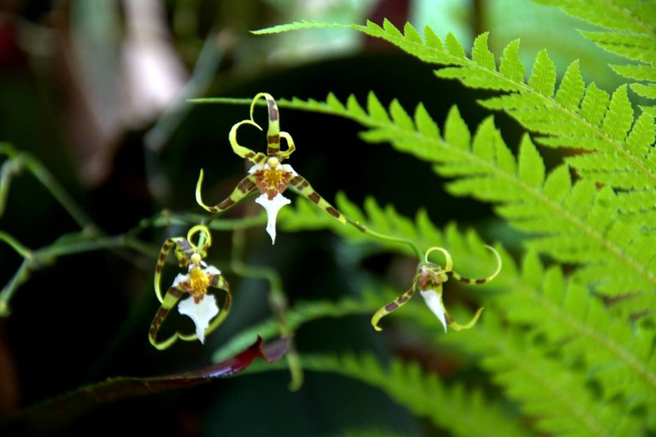 phymatochilum-brasiliense-7