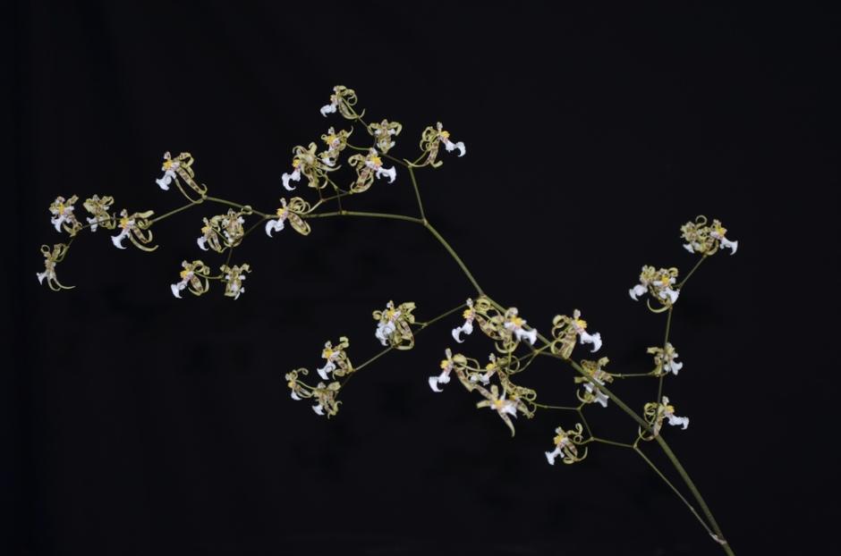 phymatochilum-brasiliense-9
