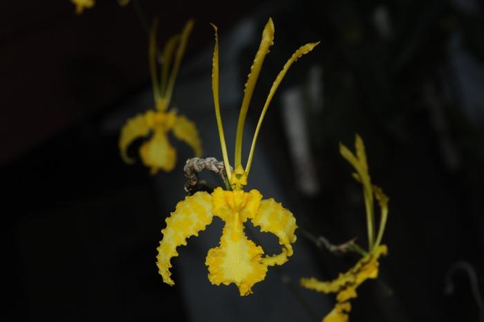 psychopsis-papilio-var-alba-1