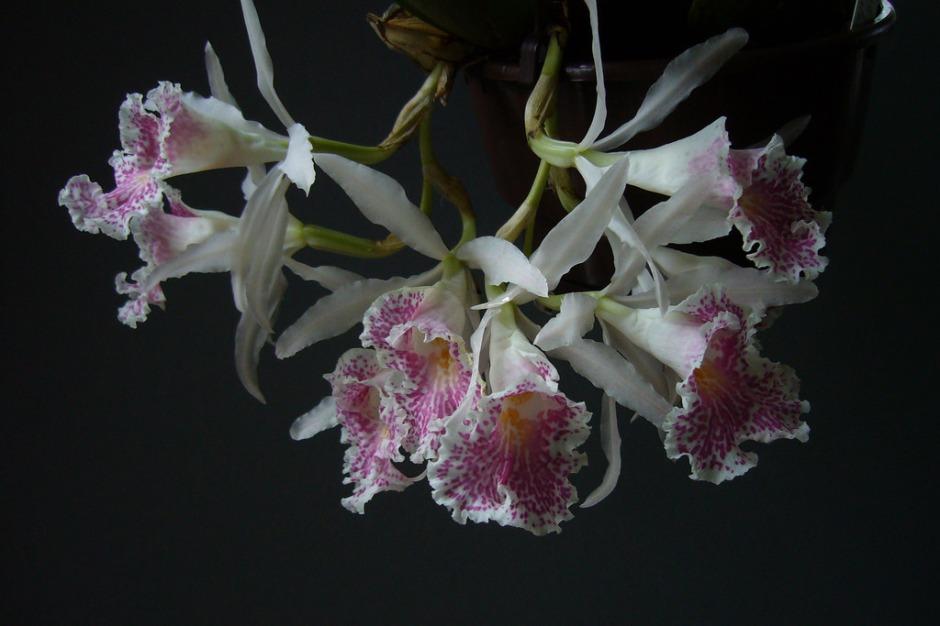 trichopilia-suavis-11