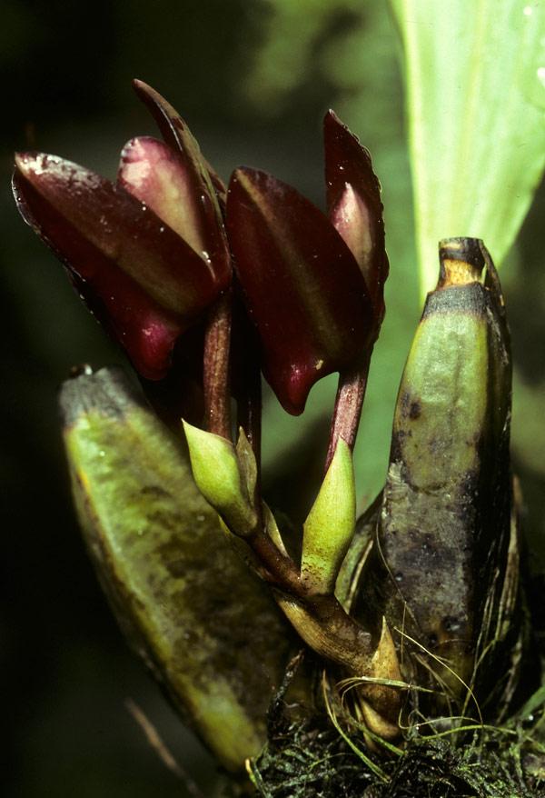 bifrenaria-atropurpurea-6