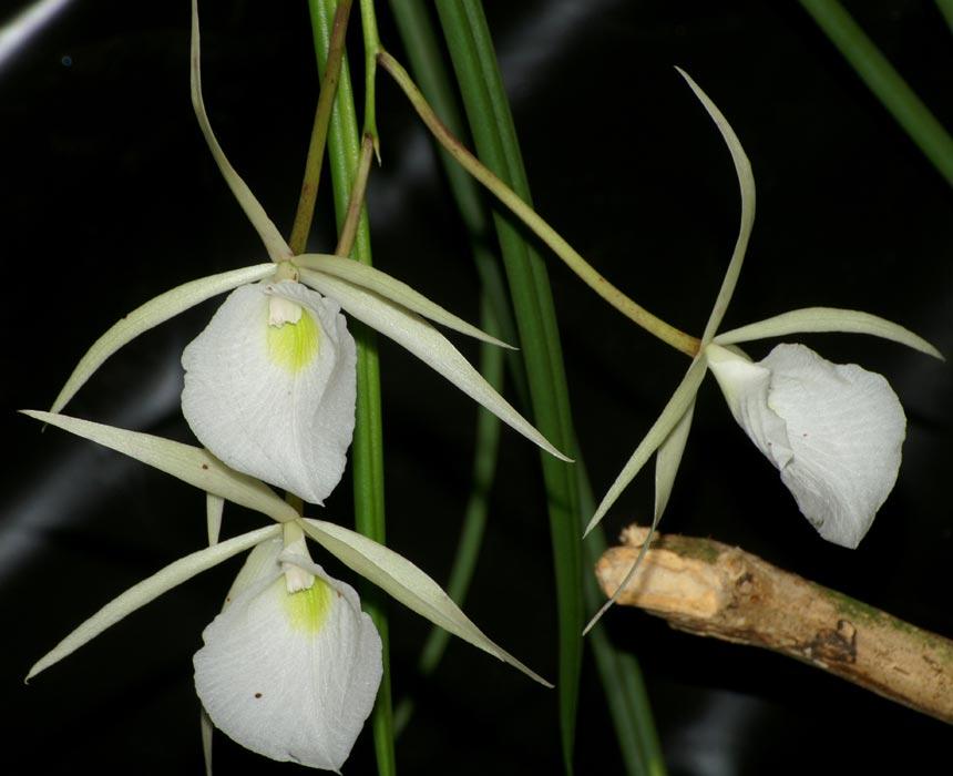 brassavola-tuberculata-6