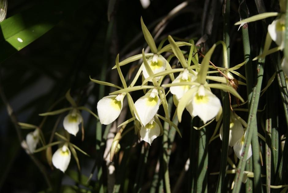 brassavola-tuberculata-8