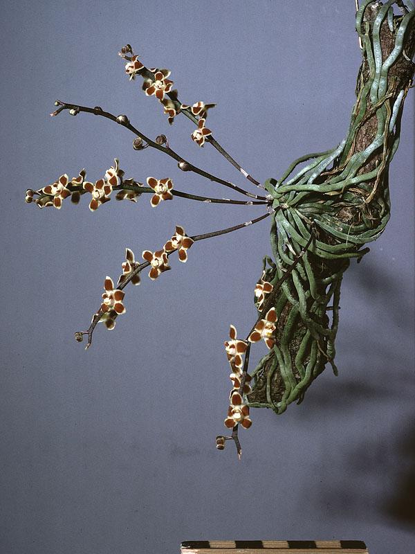chiloschista-lunifera-4