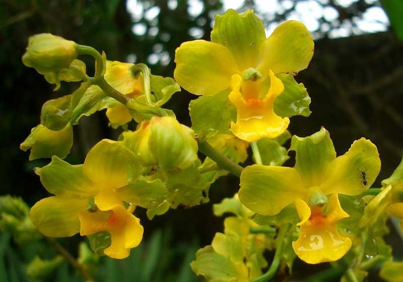 cyrtopodium-polyphyllum-1