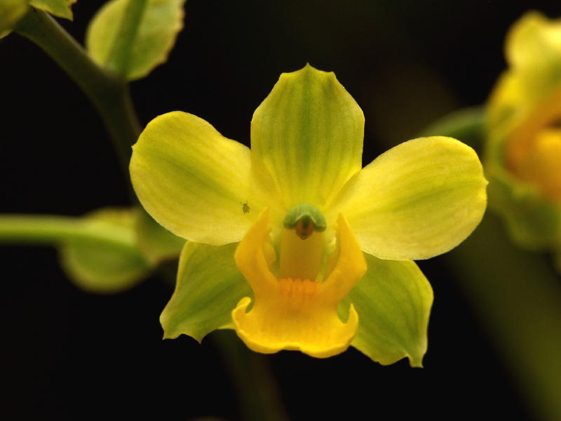 cyrtopodium-polyphyllum-4