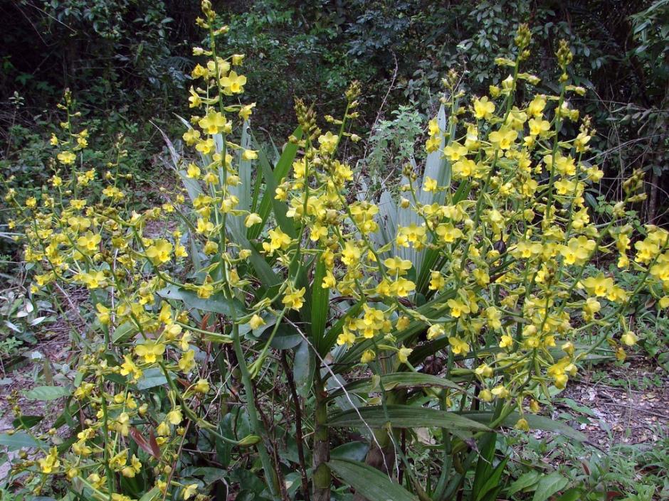 cyrtopodium-polyphyllum-6