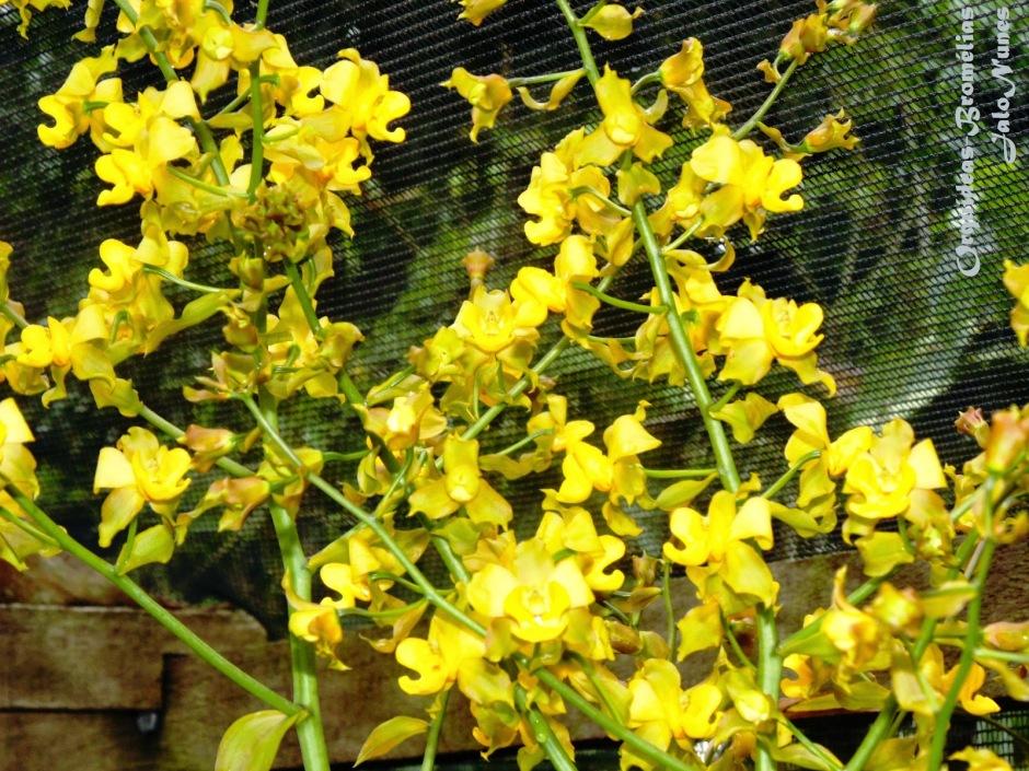 cyrtopodium-polyphyllum-7