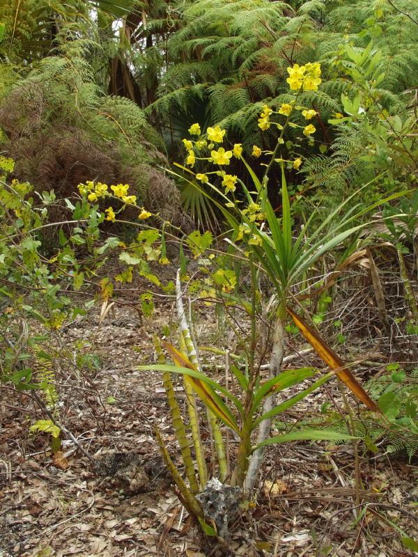 cyrtopodium-polyphyllum-8