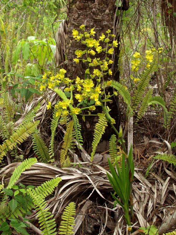 cyrtopodium-polyphyllum-9
