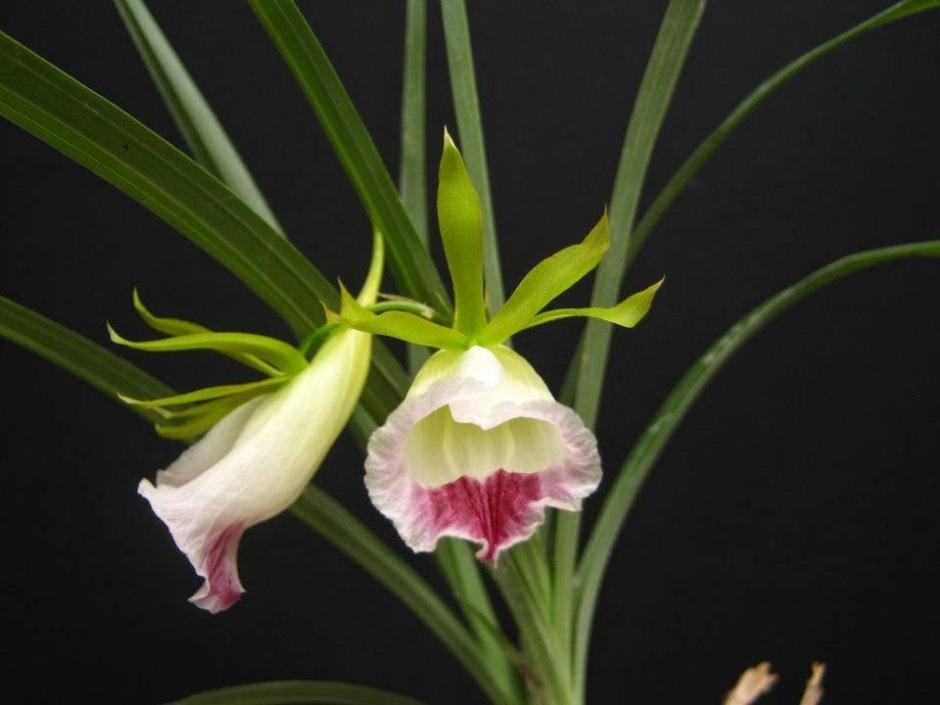 galeandra-chapadensis-3