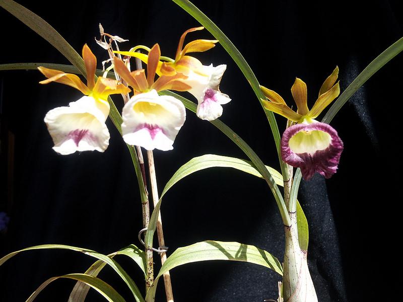 galeandra-chapadensis-5