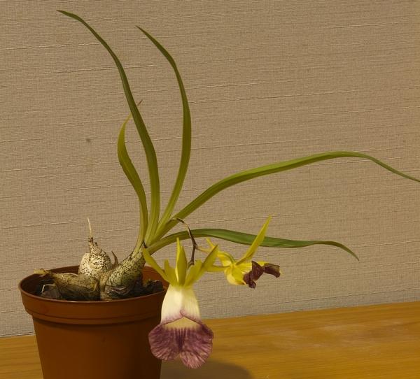 galeandra-chapadensis-7