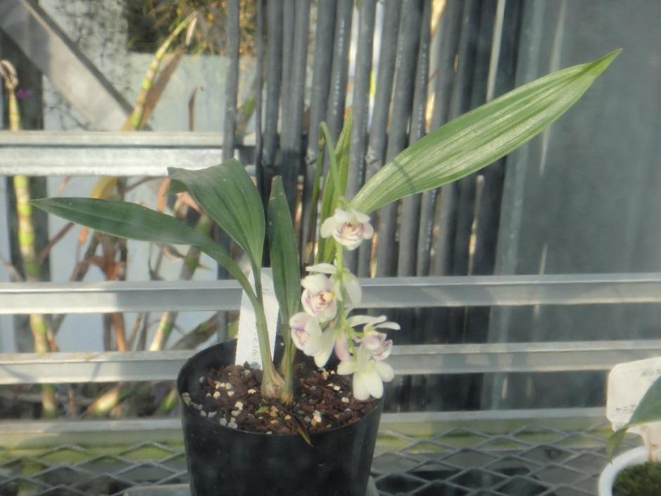 koellensteinia-tricolor-5