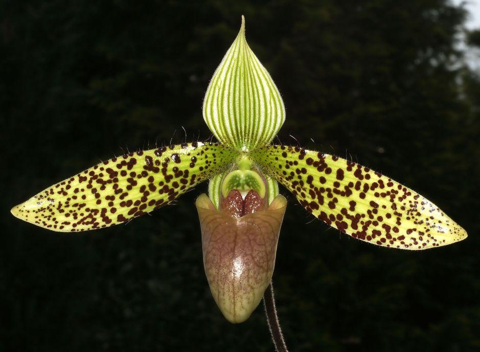 paphiopedilum-sukhakulii-3